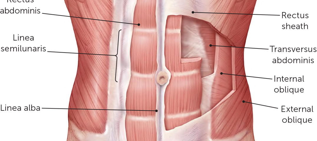The abdominal wall
