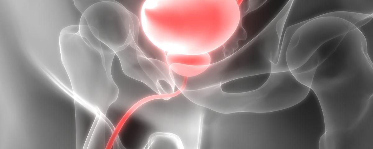 Human Body Organs (Urinary Bladder)