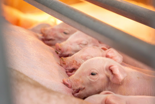 Ultrasound for vascular access in newborn pigs with Color Doppler