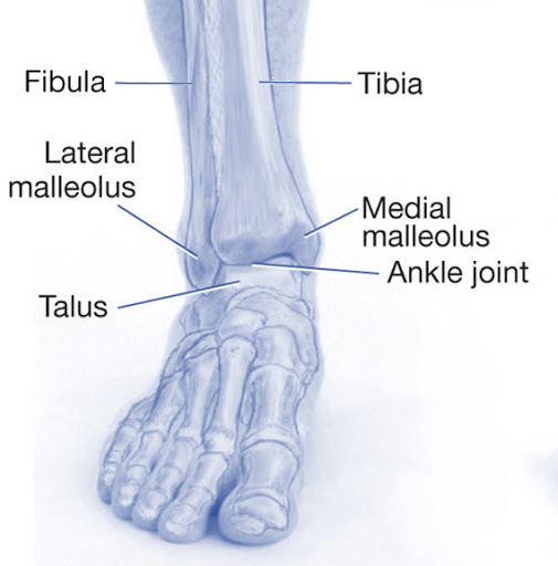 Tendons of the medial and lateral compartment of the ankle